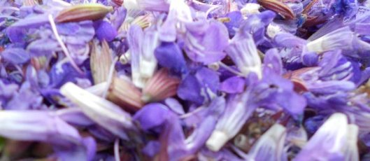 Purple-blue sage flowers